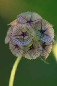 Scabious Ping Pong